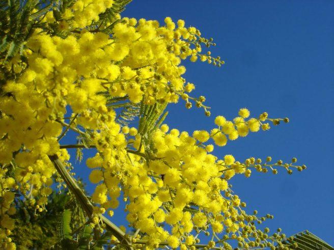 acacias-amarillas